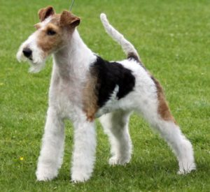 1358437514_wire-fox-terrier