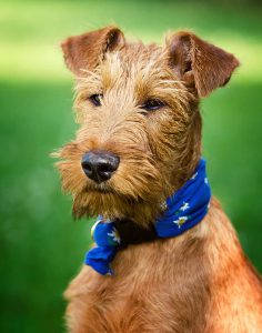 Irish-Terrier-ireland-2013
